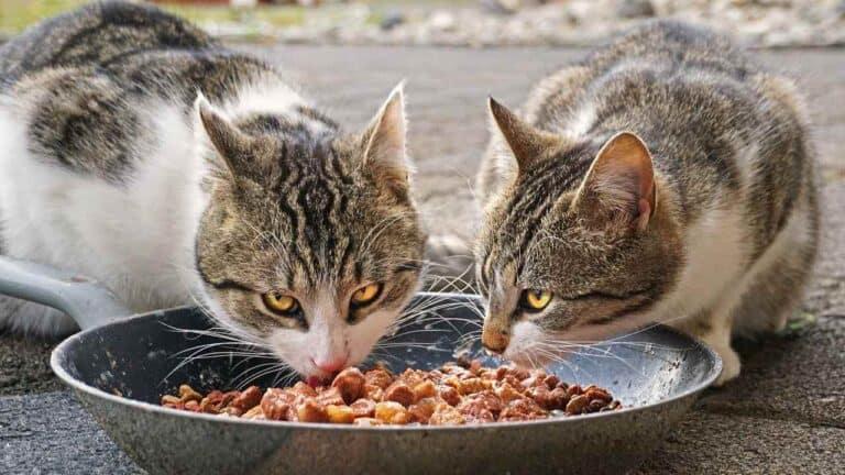 Makanan Kucing Kampung dan Minumannya agar Cepat Gemuk