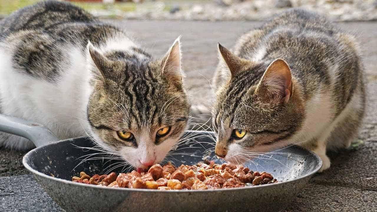 9+ Makanan Kucing Kampung dan Minumannya agar Sehat