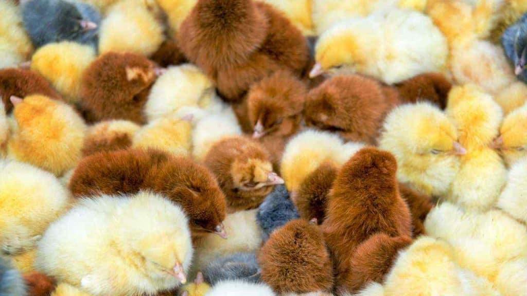 Tips dalam Pemilihan Hewan Ternak Ayam by jkraft5 Canva