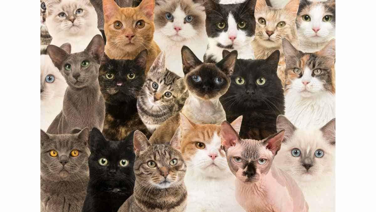 17 Jenis-jenis Kucing Populer dan Kisaran Harganya