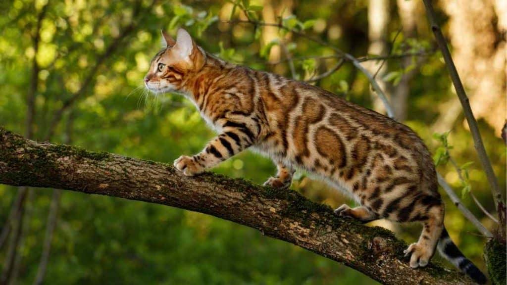 Ciri ciri Fisik Kucing Bengal