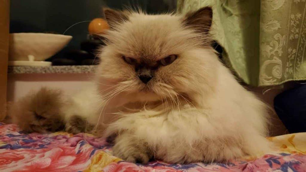 Kucing Himalaya Memiliki Bentuk Kepala Bulat Meruncing dan Memiliki Hidung Pesek