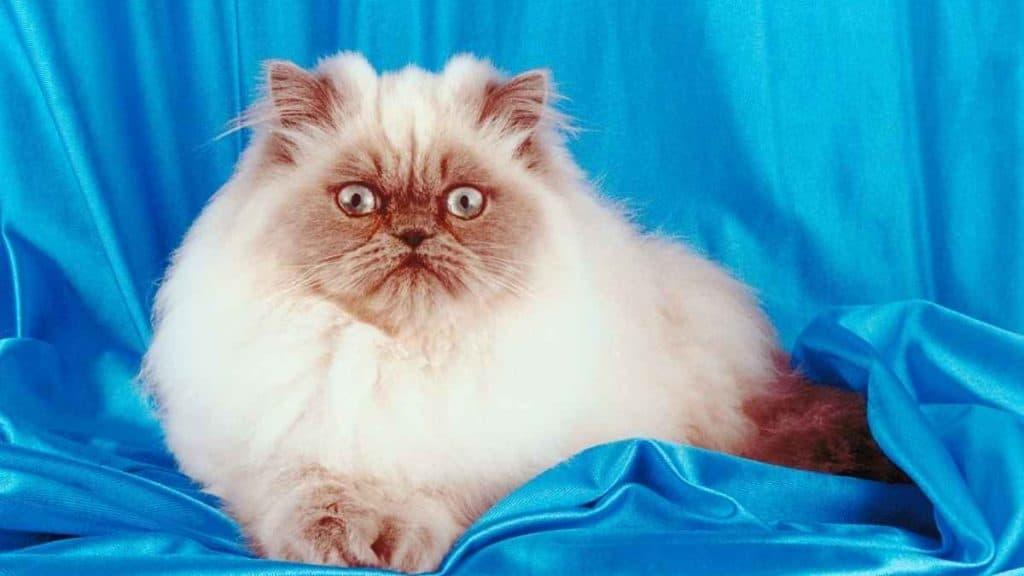 Sifat yang Dimiliki pada Kucing Himalaya