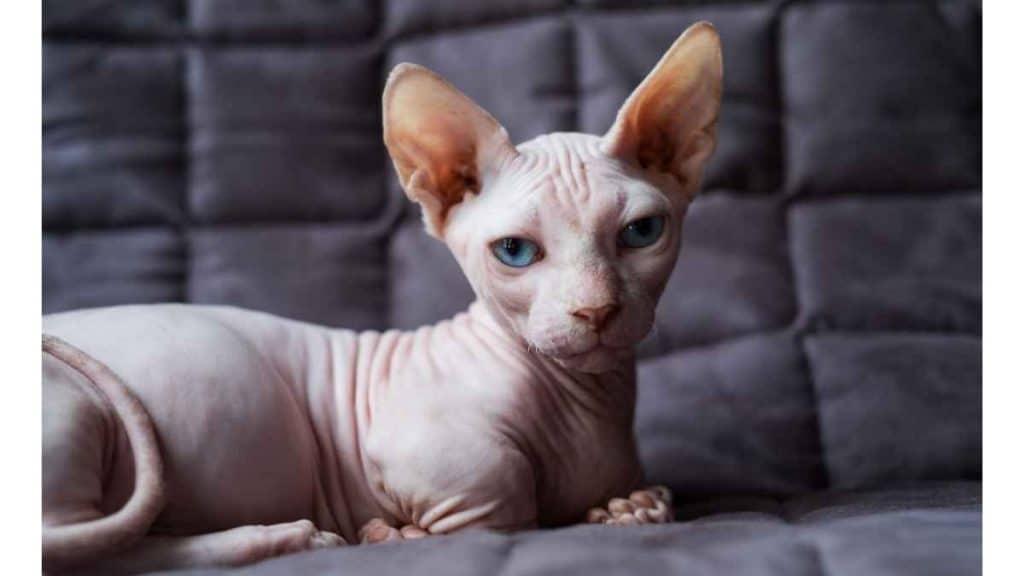 Kucing Munchkin Minskin dan Bambino